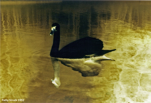 Black Swan. Photo on aluminium. 80 x 120 cm. 1995.